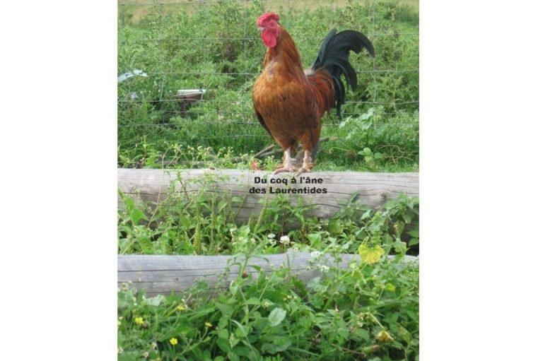 Chant du coq à la ferme