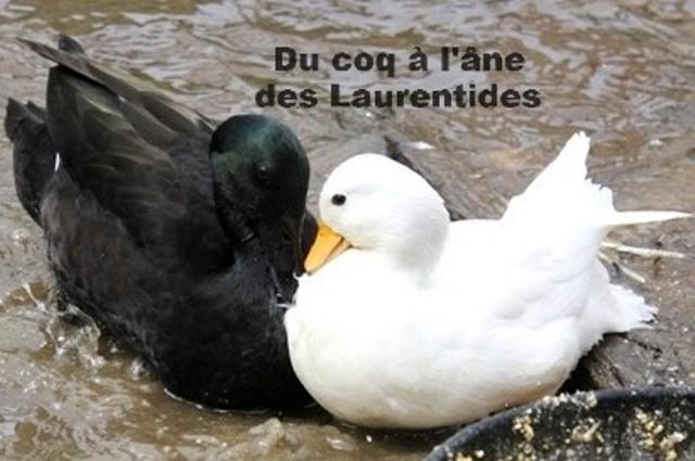 Jolie canards de couleur inverse