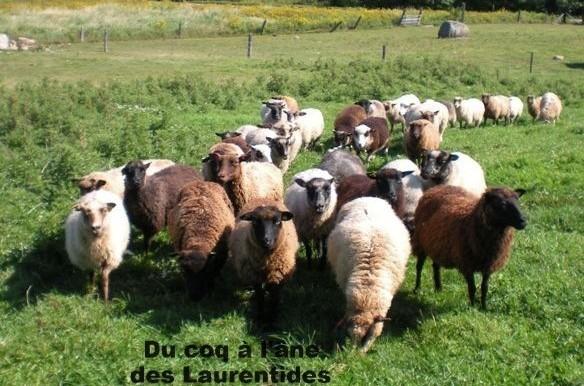 Troupeau de mouton au champs
