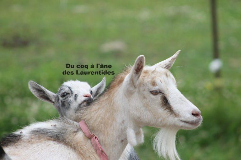 maman chèvre et son bébé