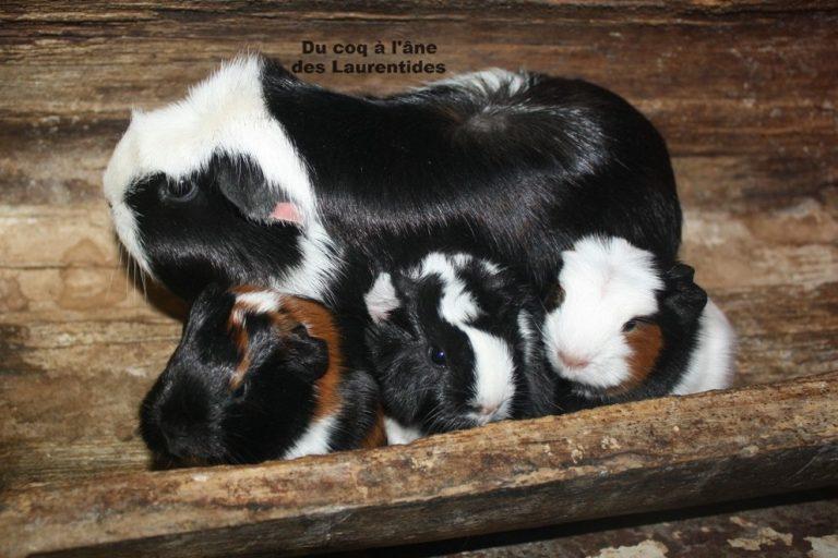 maman cochon d'inde avec ces bébés