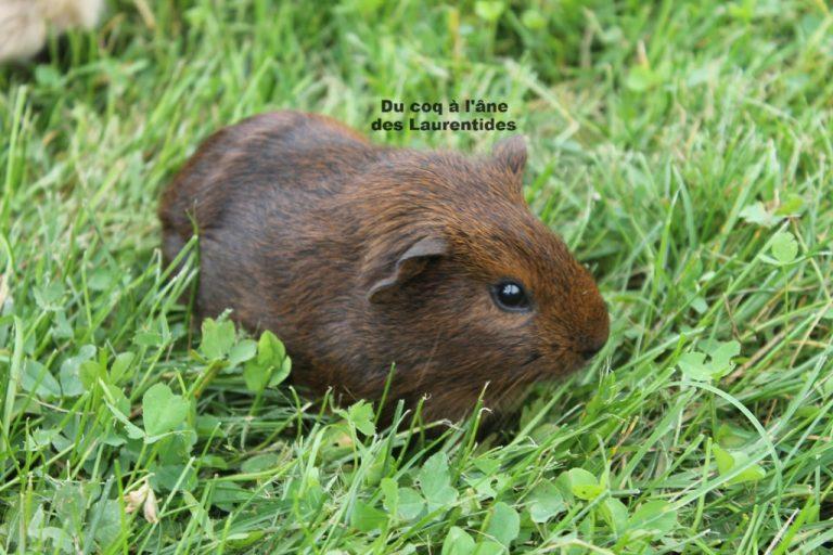 petit cochon d'inde dans l'herbe