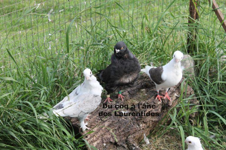 pigeon de fantaisie dans leur volière