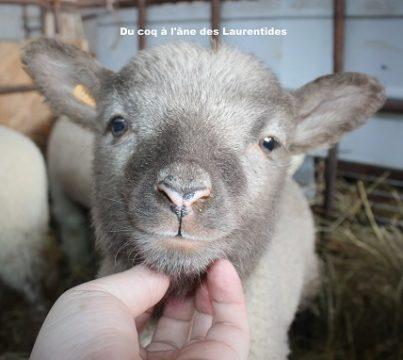 bébé mouton sourir - agneau mignon
