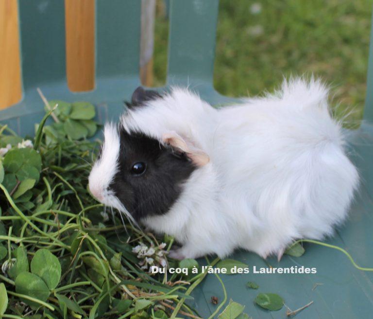 cochon d'inde - bébé à rosette blanc et noir